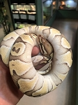 z OUT OF STOCK  - ORANGE DREAM BUTTER BALL PYTHON, Python regius