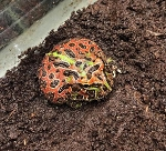 ORNATE PACMAN frog - Ceratophrys, CB babies (lots of red)