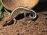 z OUT OF STOCK - PICTUS / PANTHER GECKO - CB - Paroedura pictus