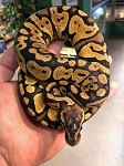 z OUT OF STOCK - PASTEL BALL PYTHON - Python regius