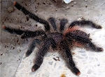 z OUT OF STOCK - Avicularia Purple Peru - PURPLE PERU TARANTULA (Picture is of an adult. So you can see what they look like)