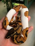 ON HOLD - PIED BALL PYTHON - 2017 CB - MALE #2, Python regius (produced at Reptile Rapture)