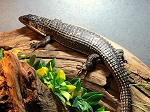 z OUT OF STOCK - GIANT PLATED LIZARD - gerrhosaurus major (also Sudan plated)