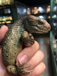 z OUT OF STOCK - SOLOMON ISLANDS PREHENSILE TAIL SKINK -  Corucia zebrata