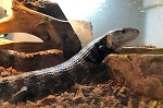 z OUT OF STOCK - BLUE TONGUE SKINK - PROVEN BREEDER FEMALE, Tiliqua sp.