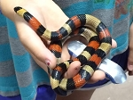 z OUT OF STOCK - PUEBLAN MILKSNAKE - Lampropeltis triangulum campbelli