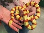 z OUT OF STOCK - QUERETARO KING SNAKE- ALBINO, 2008 ADULT MALE - Lampropeltis ruthveni