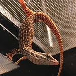 z OUT OF STOCK - RED ACKIE MONITOR baby, Varanus Acanthurus