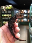 RED EYED CROCODILE SKINK - WC, Triblonotus gracilis