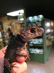 z OUT OF STOCK - RED EYED CROCODILE SKINK - WC, Triblonotus gracilis