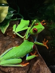 RED EYED TREE FROG, WC - Agalychnis callidryas