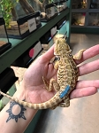 z OUT OF STOCK - BEARDED DRAGONS, CB LEATHERBACK red/orange - Pogona vitticeps