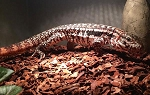 ARGENTINE RED TEGU, Tupinambis rufescens