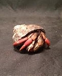 z OUT OF STOCK - WC HERMIT CRABS