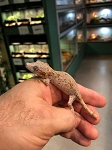 z OUT OF STOCK - GARGOYLE GECKO - Rhacodactylus auriculatus