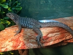 z OUT OF STOCK - RHINO IGUANA  - Cyclura cornuta