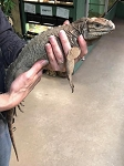RHINO IGUANA , approx. 1 year old - Cyclura cornuta