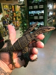 BLACK ROUGH NECK MONITOR BABIES, CH - Varanus rudicollis