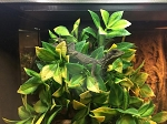 z OUT OF STOCK - GREEN SAILFIN DRAGON baby - Hydrosaurus weberi
