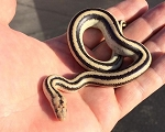 z OUT OF STOCK - MEXICAN ROSY BOA - San Ignacio - Lichanura trivirgata