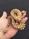 SONORAN GOPHER SNAKE - 2015 CB MALE #3, Double het hybino and Ghost, Pituophis catenifer affinis (Produced at Reptile Rapture)