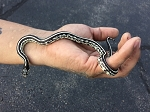 z OUT OF STOCK - STRIPE CALIFORNIA KING, CB - Lampropeltis californiae
