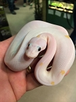 SUPER FIRE BALL PYTHON - 2017 CB - FEMALE, Python regius (produced at Reptile Rapture)
