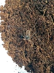 Damon variegata - TAILLESS WHIP SCORPION - BABIES