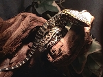 z OUT OF STOCK - ARGENTINE BLACK & WHITE TEGU, CB babies - Salvator merianae