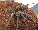 z OUT OF STOCK - Aphonopelma hentzi - TEXAS BROWN TARANTULA