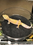 z OUT OF STOCK - LEOPARD GECKO  - TREMPER ALBINO, CB (Eublepharis macularius)