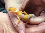 z OUT OF STOCK - LEOPARD GECKO - TREMPER ALBINO  - Eublepharis macularius