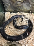 z OUT OF STOCK - TRICOLOR HOGNOSE - BLACK FEMALE