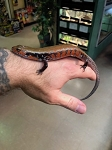 z OUT OF STOCK - TRUE FIRE SKINK - Mochlus fernandi