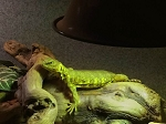 z OUT OF STOCK - UROMASTYX NIGERIAN - Yellow sub-adults (Uromastyx geyri)