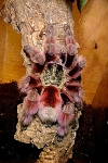 z OUT OF STOCK - Avicularia versicolor - VERSICOLOR - 3/4