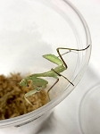z OUT OF STOCK - AFRICAN MANTIS, size L3 - Sphodromantis viridis