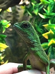 CHINESE WATER DRAGON, Physignathus cocincinus - FR babies