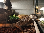 z OUT OF STOCK - CH WHITE THROATED MONITOR - BIG BABIES - Varanus albigularis albigularis