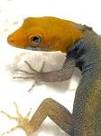 z OUT OF STOCK - CENTRAL AMERICAN YELLOW HEADED GECKO - Gonatodes fuscus