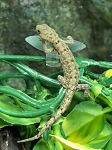 z OUT OF STOCK - CENTRAL AMERICAN YELLOW HEADED GECKO - FEMALE, Gonatodes fuscus