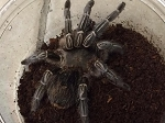 z OUT OF STOCK - Aphonopelma seemanni - ZEBRA KNEE TARANTULA