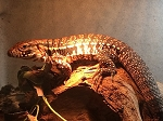 ON HOLD - ARGENTINE RED TEGU #4