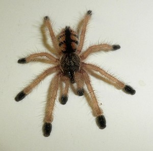 z OUT OF STOCK - Avicularia minatrix - VENEZUELAN RED STRIPE PINK TOE TARANTULA