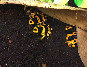 "z OUT OF STOCK - CB BUMBLE BEE DART FROGS - ""Banded"" Dendrobates leucomelas"