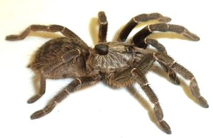 Ceratogyrus darlingi - REAR HORNED BABOON TARANTULA, 2.5""