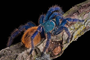z OUT OF STOCK - Chromatopelma cyaneopubescens - GREEN BOTTLE BLUE - 1/2 inch (Picture is of an adult, so you can see what they look like grown.)