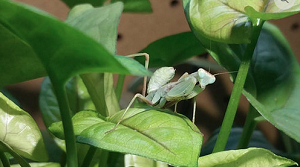 z OUT OF STOCK - GIANT AFRICAN MANTIS - L4, Sphodromantis gastrica