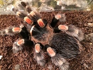 z OUT OF STOCK - Brachypelma smithi - CB MEXICAN RED KNEE, 2""