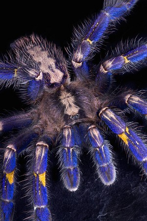 z OUT OF STOCK - Poecilotheria metallica - GOOTY SAPPHIRE TARANTULA - approx. 1""